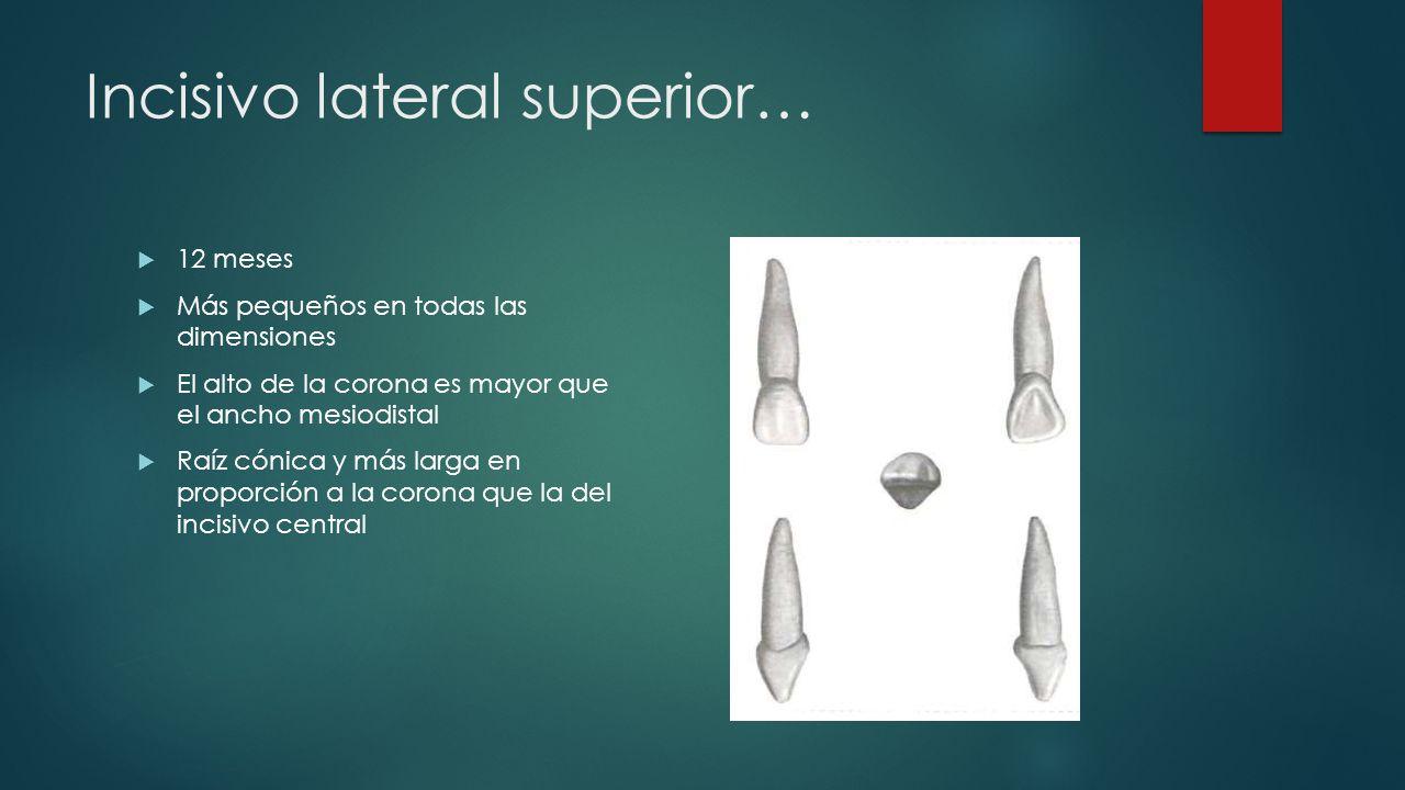 Incisivo lateral superior…