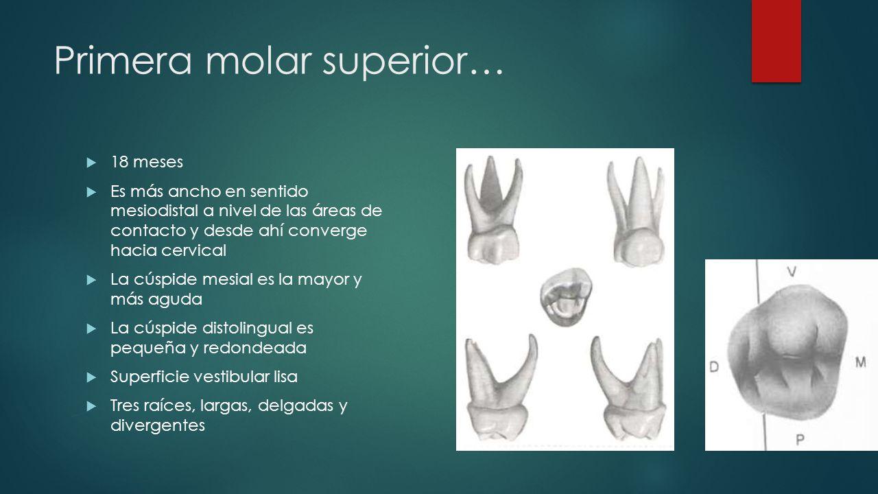 Primera molar superior…