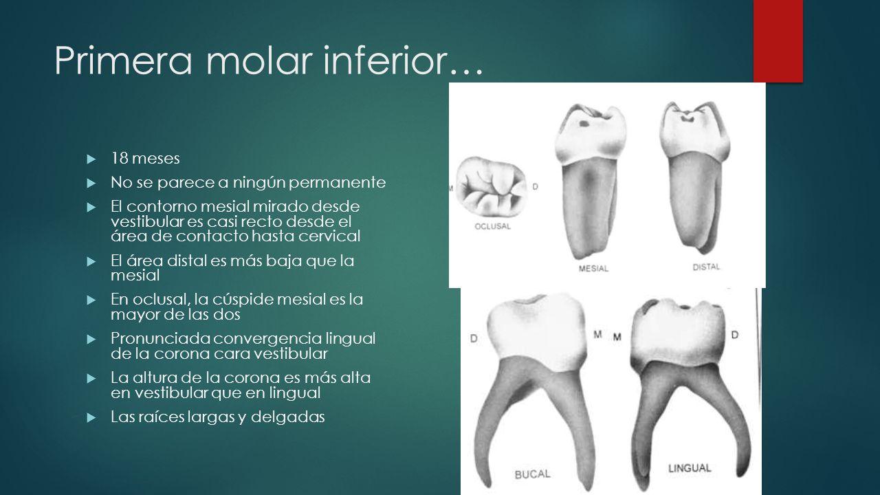 Primera molar inferior…