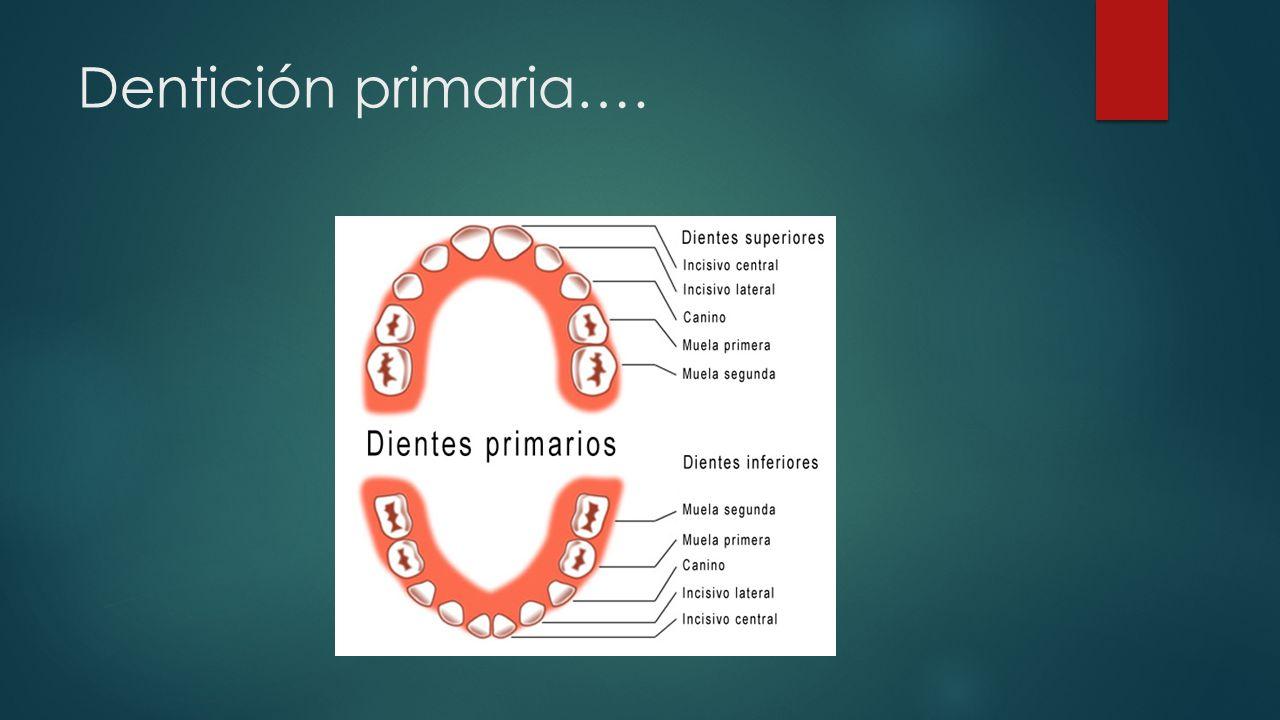 Dentición primaria….
