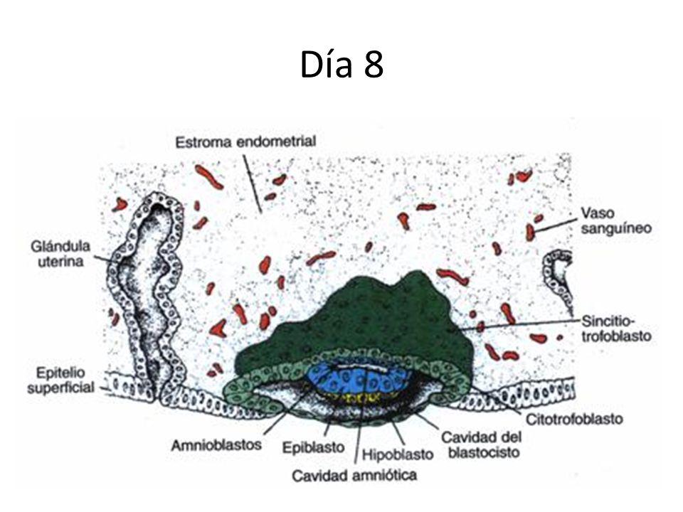 Día 8 Trofoblasto: dos capas Embrioblasto: dos capas Citotrofoblasto