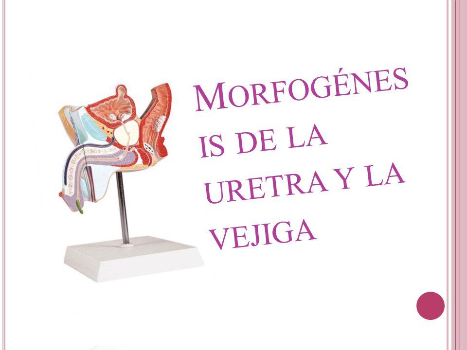 Morfogénesis de la uretra y la vejiga