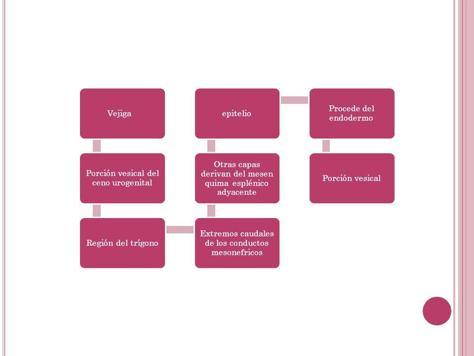 Porción vesical del ceno urogenital