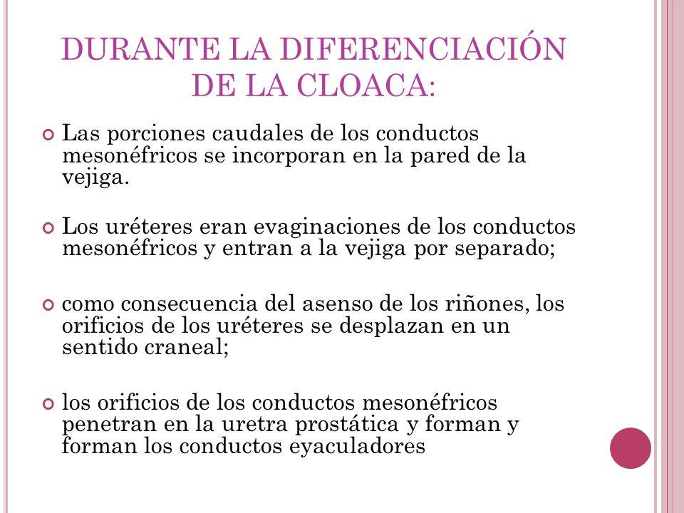 DURANTE LA DIFERENCIACIÓN DE LA CLOACA: