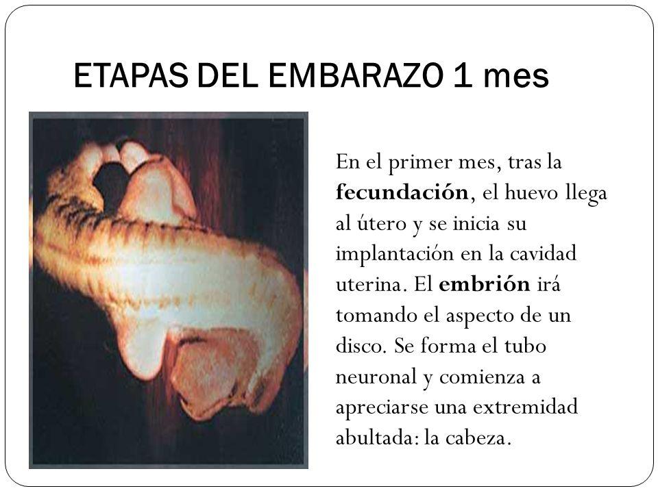 ETAPAS DEL EMBARAZO 1 mes