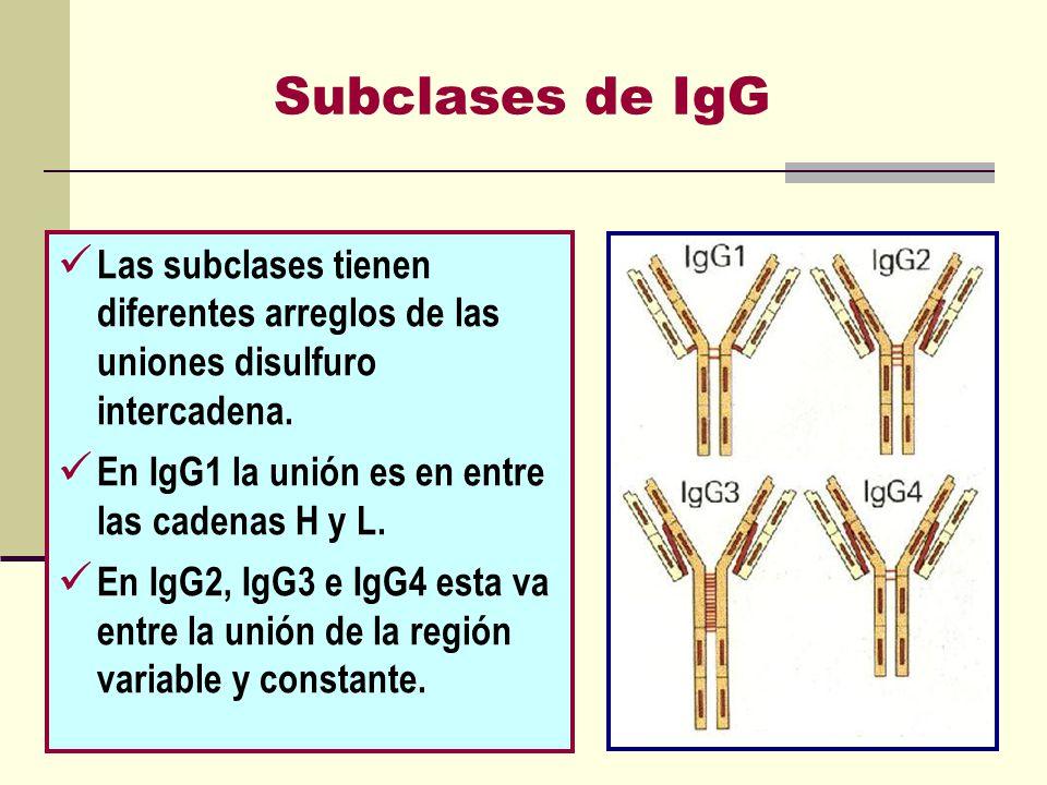 Subclases de IgG Las subclases tienen diferentes arreglos de las uniones disulfuro intercadena. En IgG1 la unión es en entre las cadenas H y L.