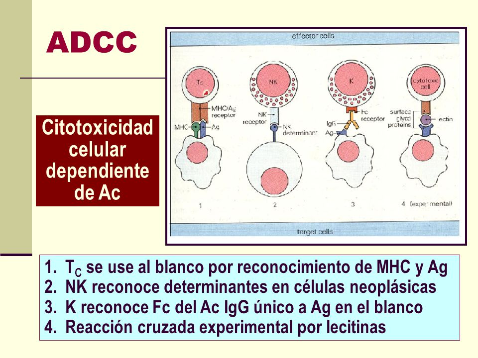 Citotoxicidad celular dependiente de Ac