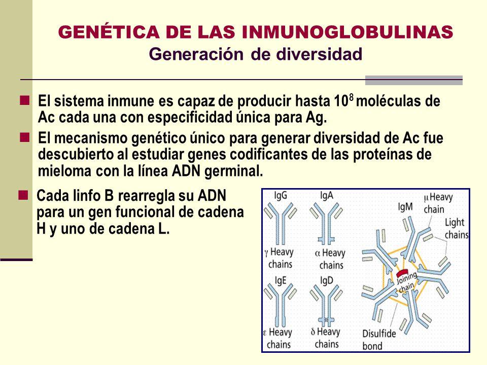 GENÉTICA DE LAS INMUNOGLOBULINAS Generación de diversidad