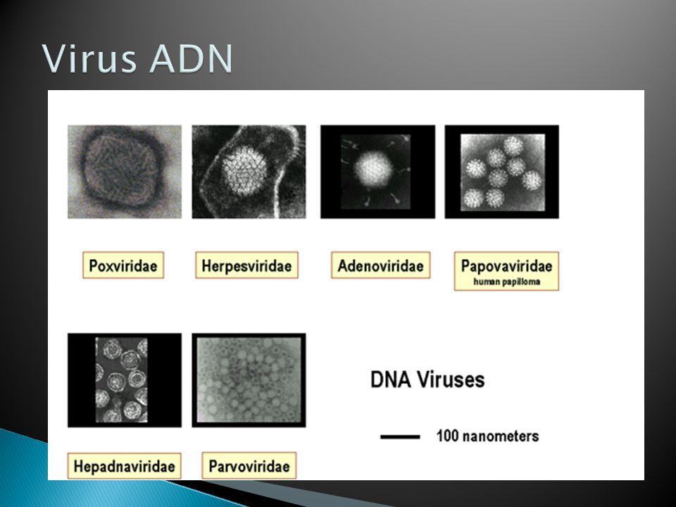 Virus ADN