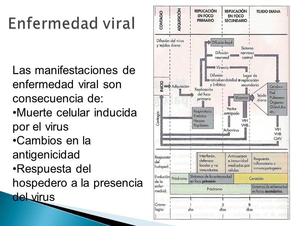 Enfermedad viral Las manifestaciones de enfermedad viral son consecuencia de: Muerte celular inducida por el virus.