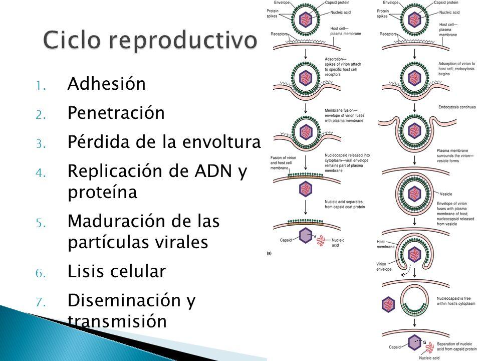 Ciclo reproductivo Adhesión Penetración Pérdida de la envoltura