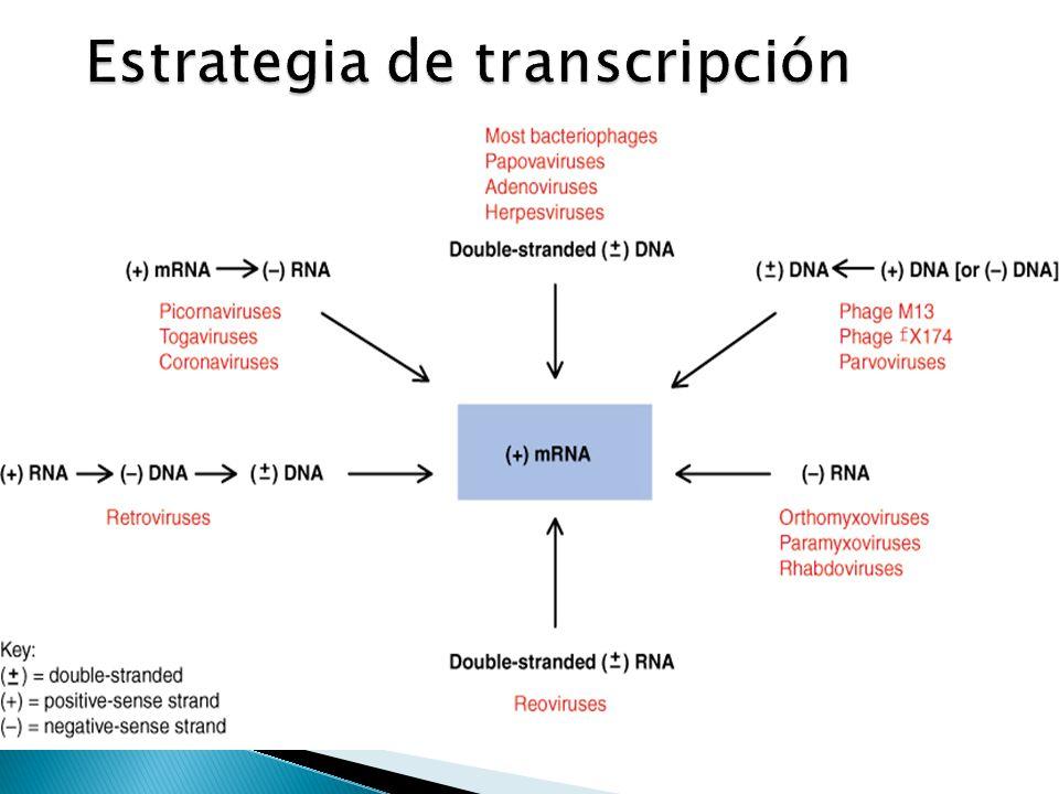 Estrategia de transcripción
