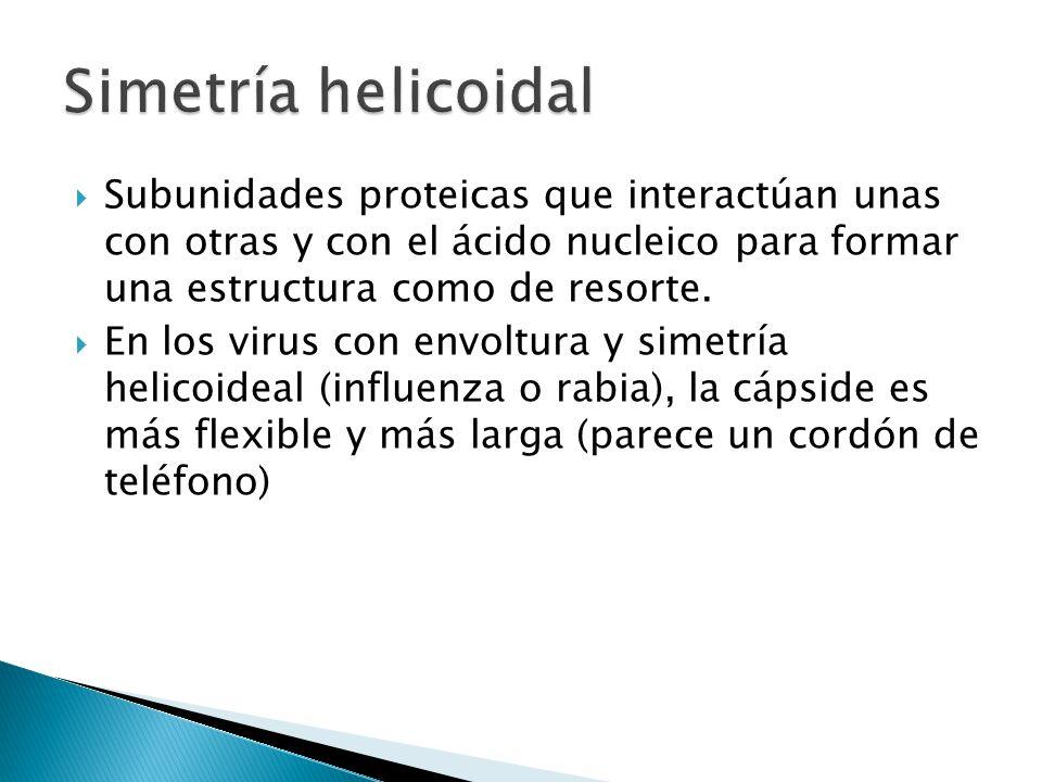 Simetría helicoidal Subunidades proteicas que interactúan unas con otras y con el ácido nucleico para formar una estructura como de resorte.