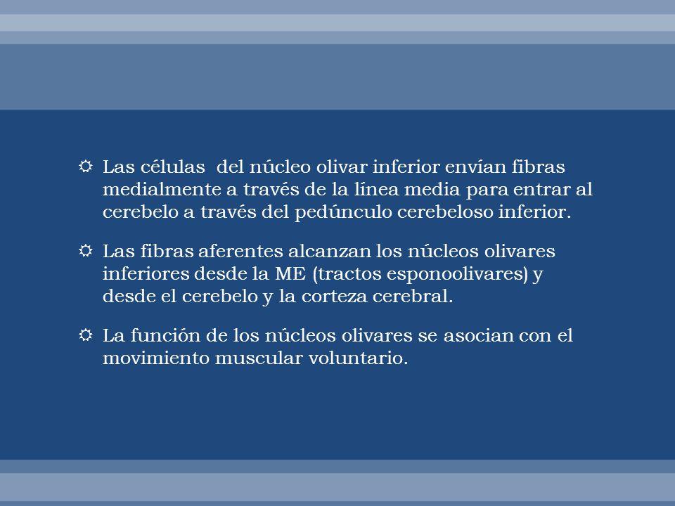 Las células del núcleo olivar inferior envían fibras medialmente a través de la línea media para entrar al cerebelo a través del pedúnculo cerebeloso inferior.