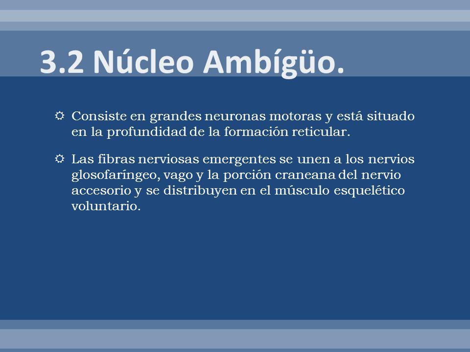 3.2 Núcleo Ambígüo. Consiste en grandes neuronas motoras y está situado en la profundidad de la formación reticular.