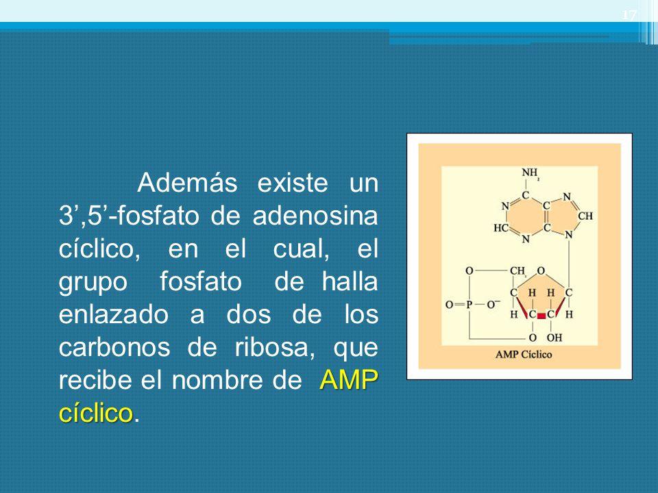 Además existe un 3',5'-fosfato de adenosina cíclico, en el cual, el grupo fosfato de halla enlazado a dos de los carbonos de ribosa, que recibe el nombre de AMP cíclico.
