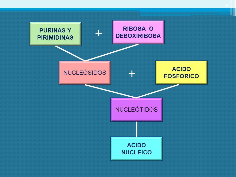 + + RIBOSA O DESOXIRIBOSA PURINAS Y PIRIMIDINAS ACIDO FOSFORICO