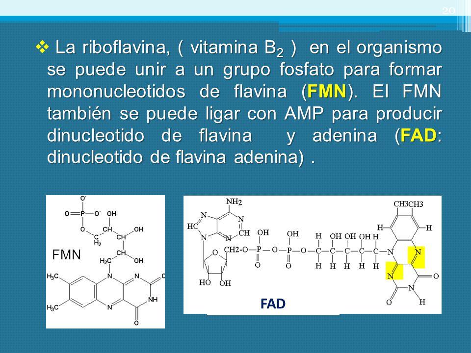 La riboflavina, ( vitamina B2 ) en el organismo se puede unir a un grupo fosfato para formar mononucleotidos de flavina (FMN). El FMN también se puede ligar con AMP para producir dinucleotido de flavina y adenina (FAD: dinucleotido de flavina adenina) .