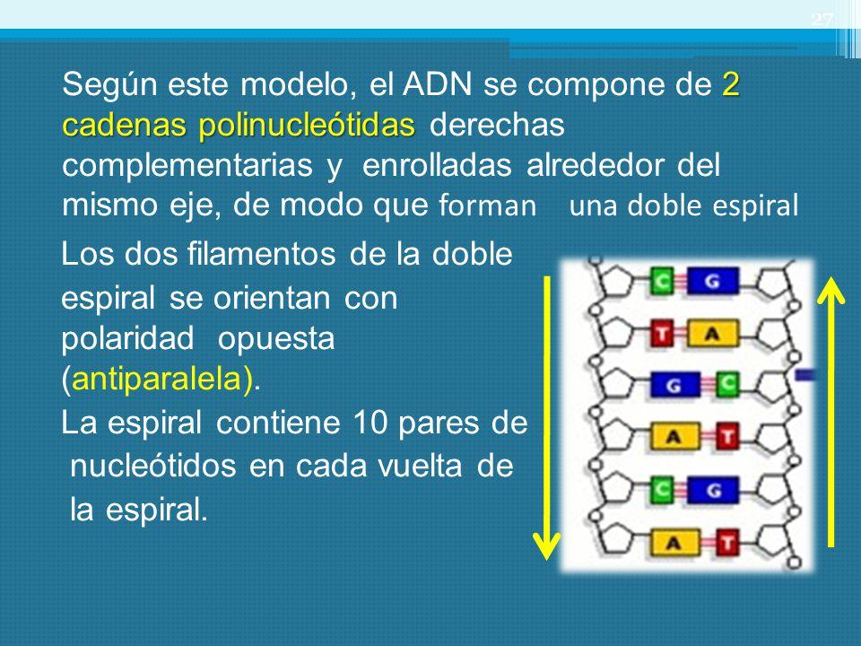 Según este modelo, el ADN se compone de 2 cadenas polinucleótidas derechas complementarias y enrolladas alrededor del mismo eje, de modo que forman una doble espiral
