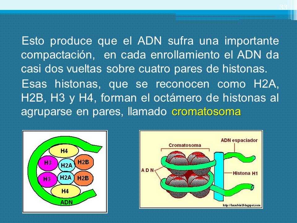 Esto produce que el ADN sufra una importante compactación, en cada enrollamiento el ADN da casi dos vueltas sobre cuatro pares de histonas.