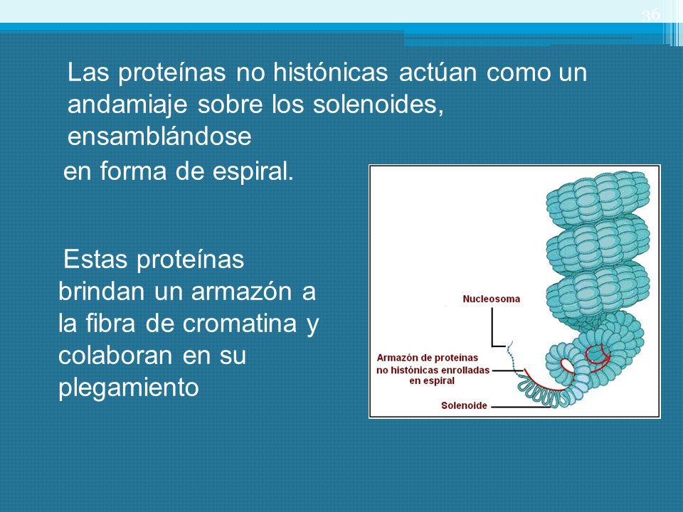 Las proteínas no histónicas actúan como un andamiaje sobre los solenoides, ensamblándose en forma de espiral.