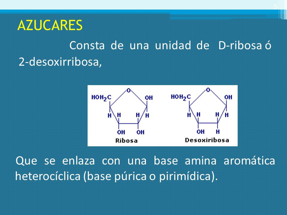 AZUCARES Consta de una unidad de D-ribosa ó 2-desoxirribosa, Que se enlaza con una base amina aromática heterocíclica (base púrica o pirimídica).