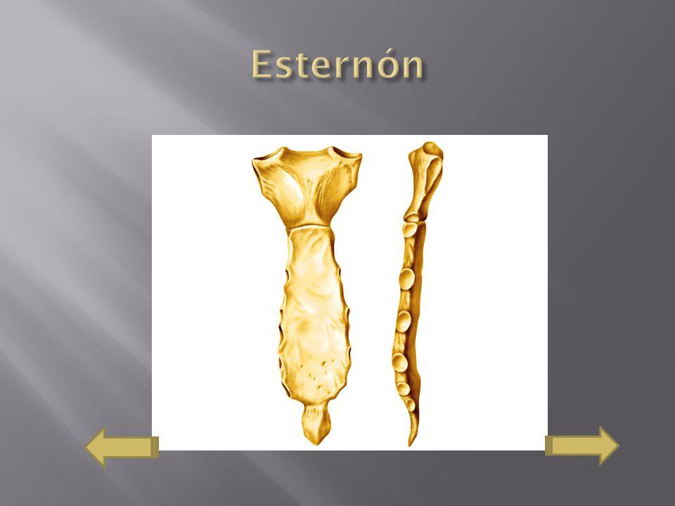 Esternón