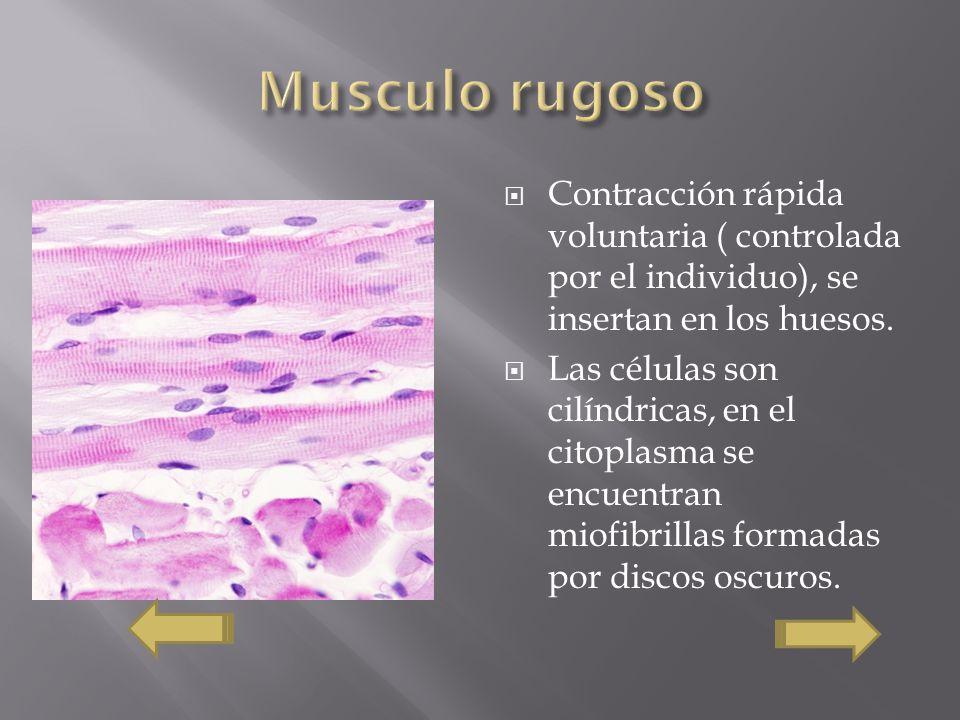 Musculo rugoso Contracción rápida voluntaria ( controlada por el individuo), se insertan en los huesos.
