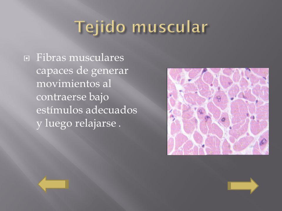 Tejido muscular Fibras musculares capaces de generar movimientos al contraerse bajo estímulos adecuados y luego relajarse .