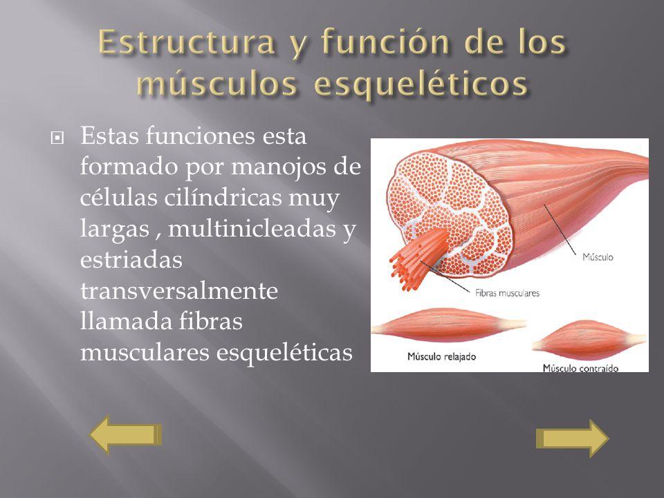 Estructura y función de los músculos esqueléticos