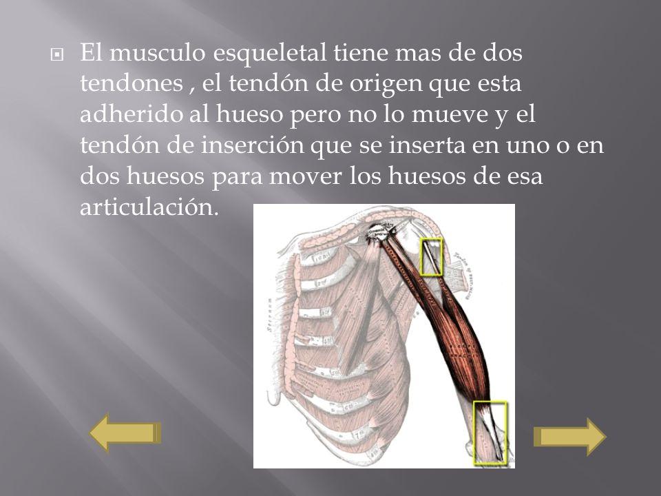 El musculo esqueletal tiene mas de dos tendones , el tendón de origen que esta adherido al hueso pero no lo mueve y el tendón de inserción que se inserta en uno o en dos huesos para mover los huesos de esa articulación.