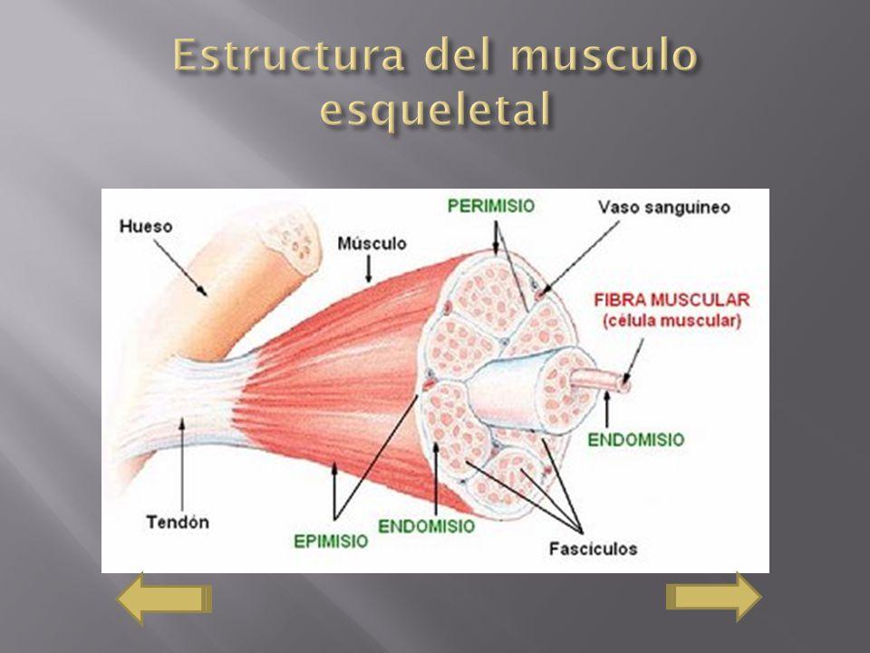 Estructura del musculo esqueletal