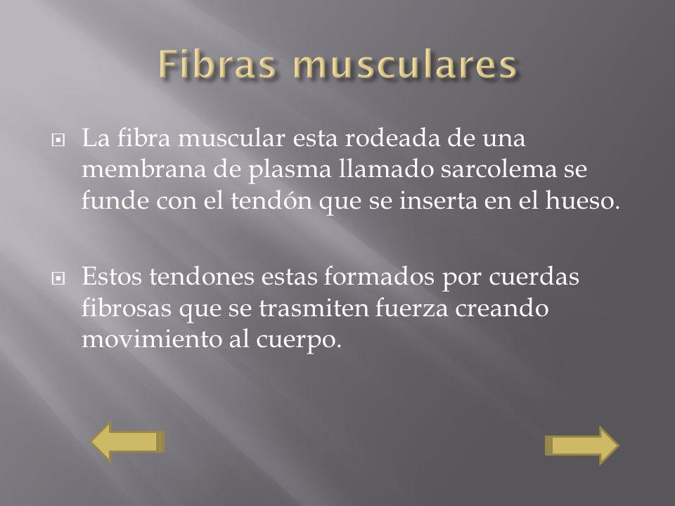 Fibras musculares La fibra muscular esta rodeada de una membrana de plasma llamado sarcolema se funde con el tendón que se inserta en el hueso.