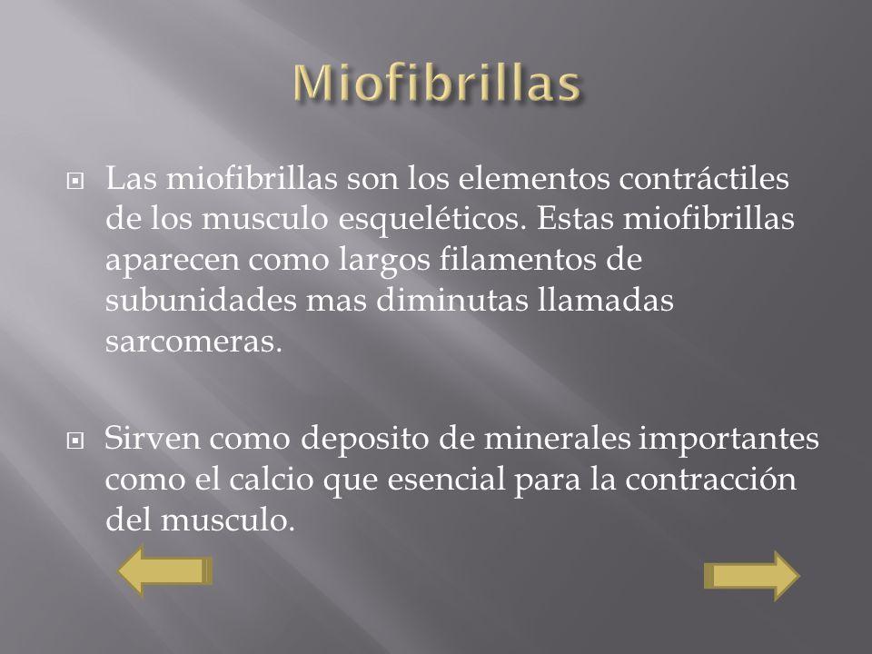 Miofibrillas