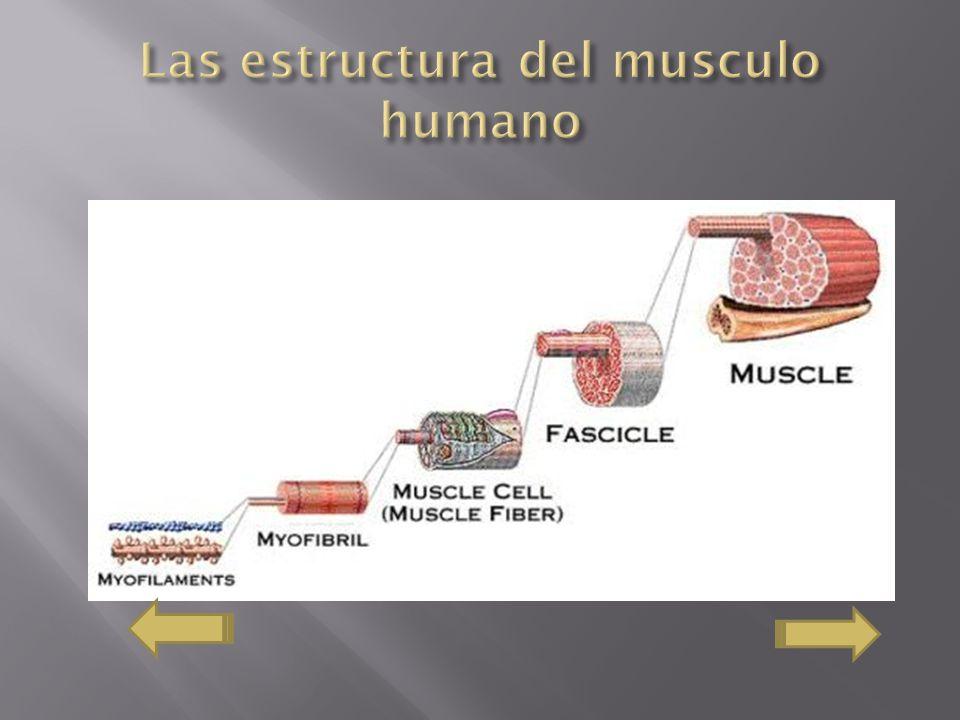 Las estructura del musculo humano