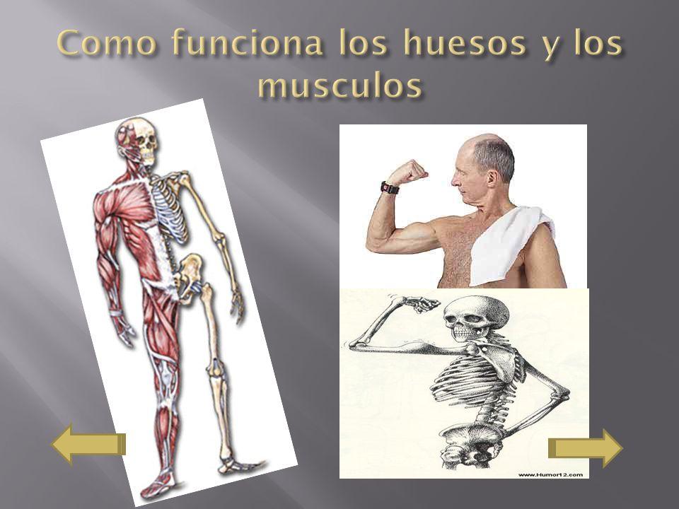 Como funciona los huesos y los musculos