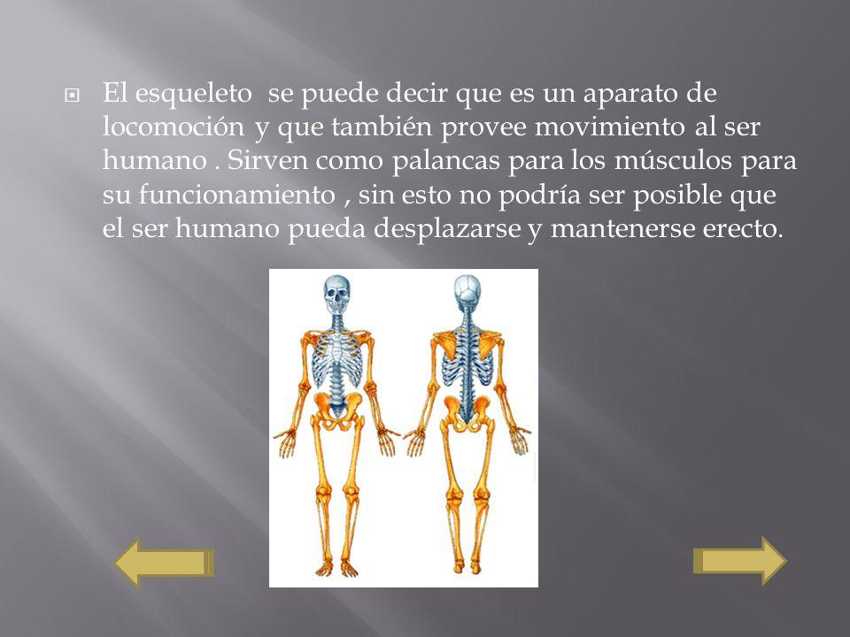 El esqueleto se puede decir que es un aparato de locomoción y que también provee movimiento al ser humano .