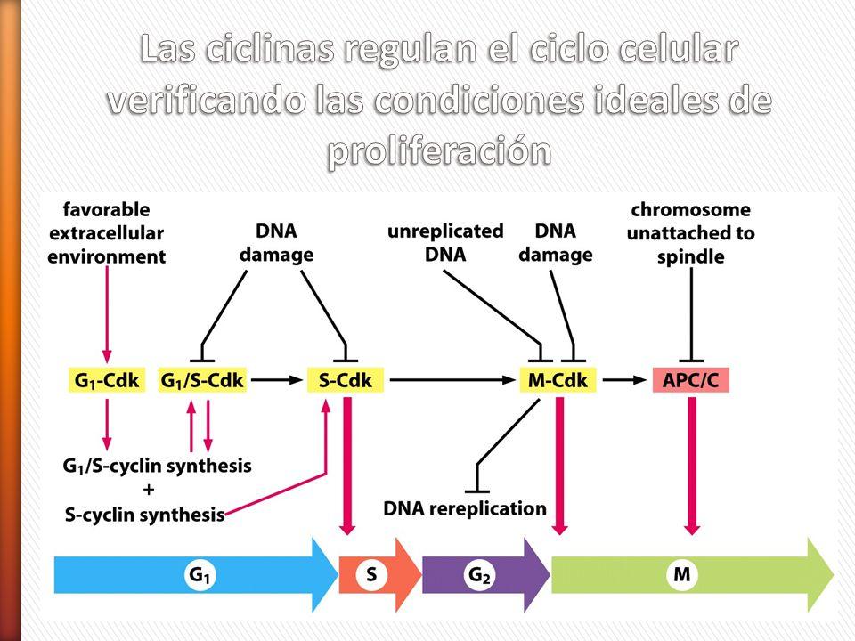 Las ciclinas regulan el ciclo celular verificando las condiciones ideales de proliferación