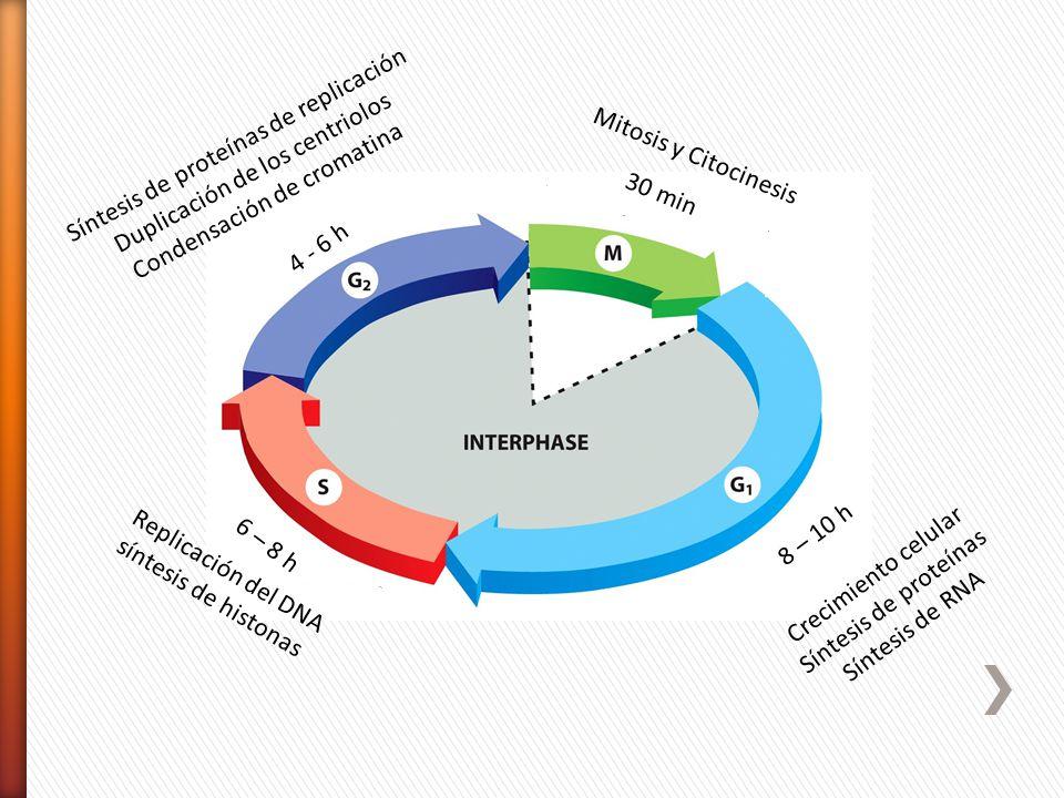 Síntesis de proteínas de replicación Duplicación de los centriolos