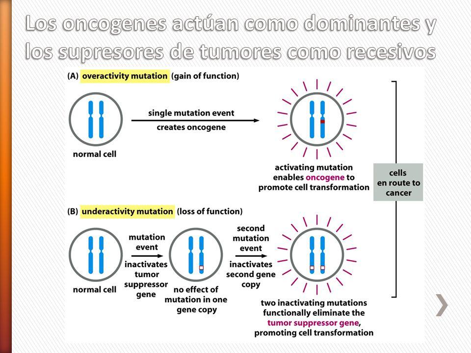 Los oncogenes actúan como dominantes y los supresores de tumores como recesivos