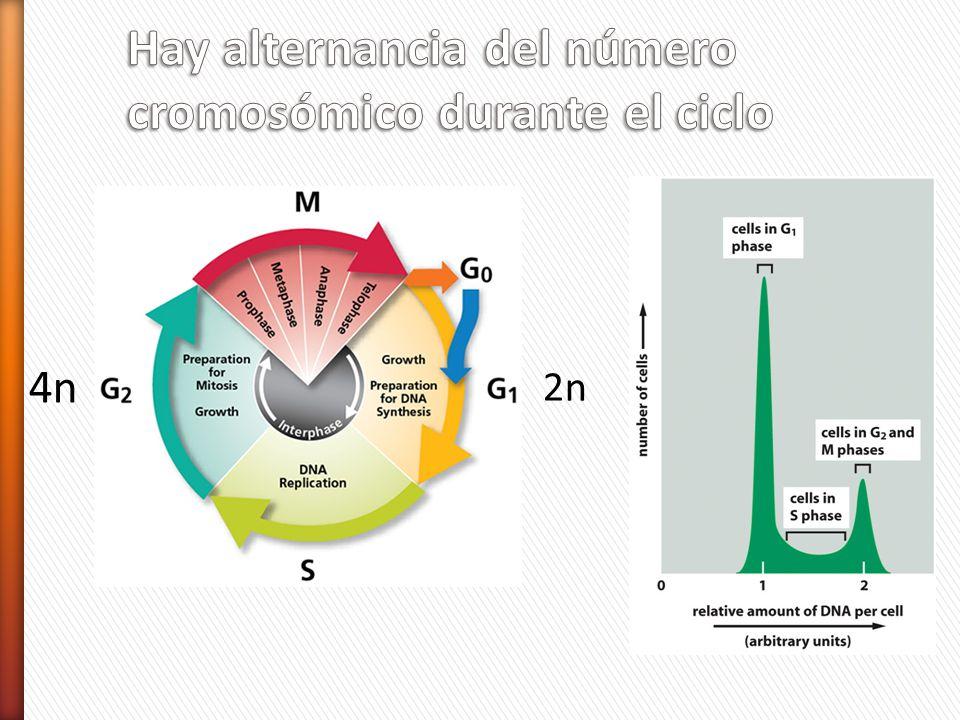Hay alternancia del número cromosómico durante el ciclo