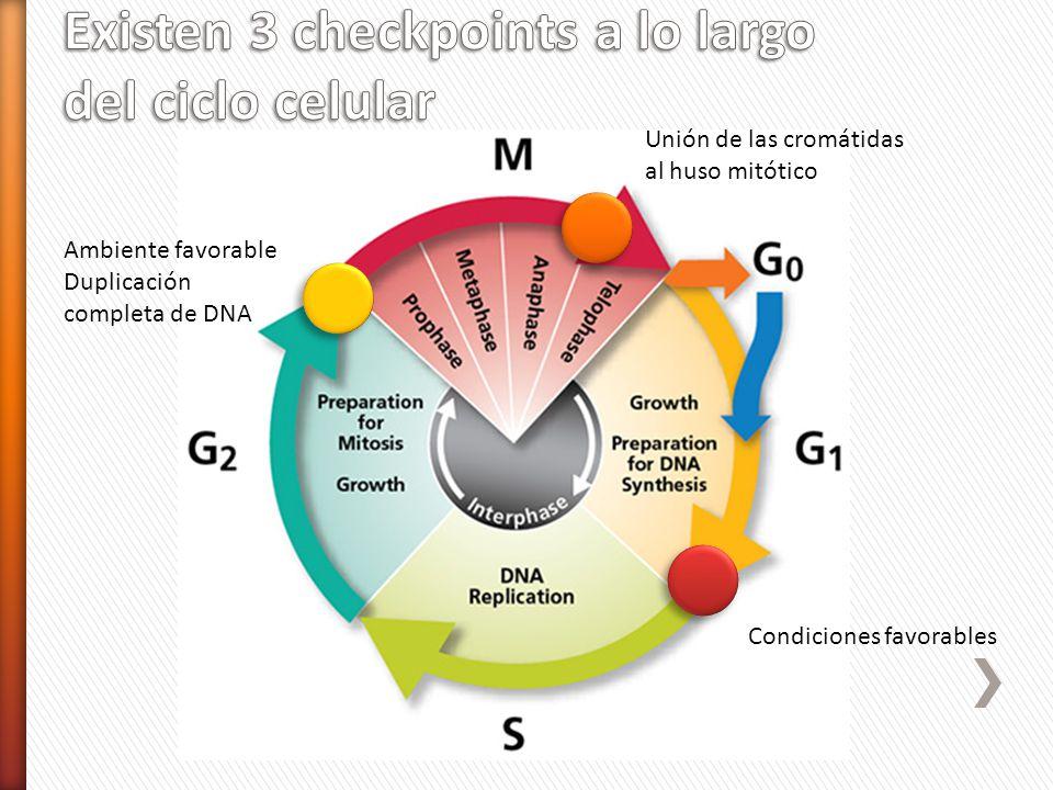Existen 3 checkpoints a lo largo del ciclo celular