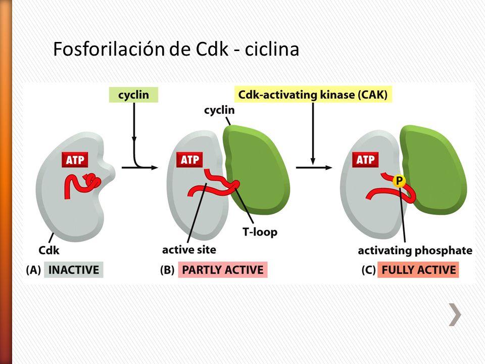 Fosforilación de Cdk - ciclina