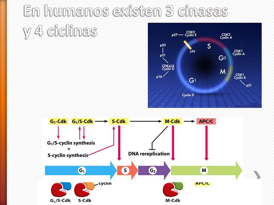 En humanos existen 3 cinasas y 4 ciclinas