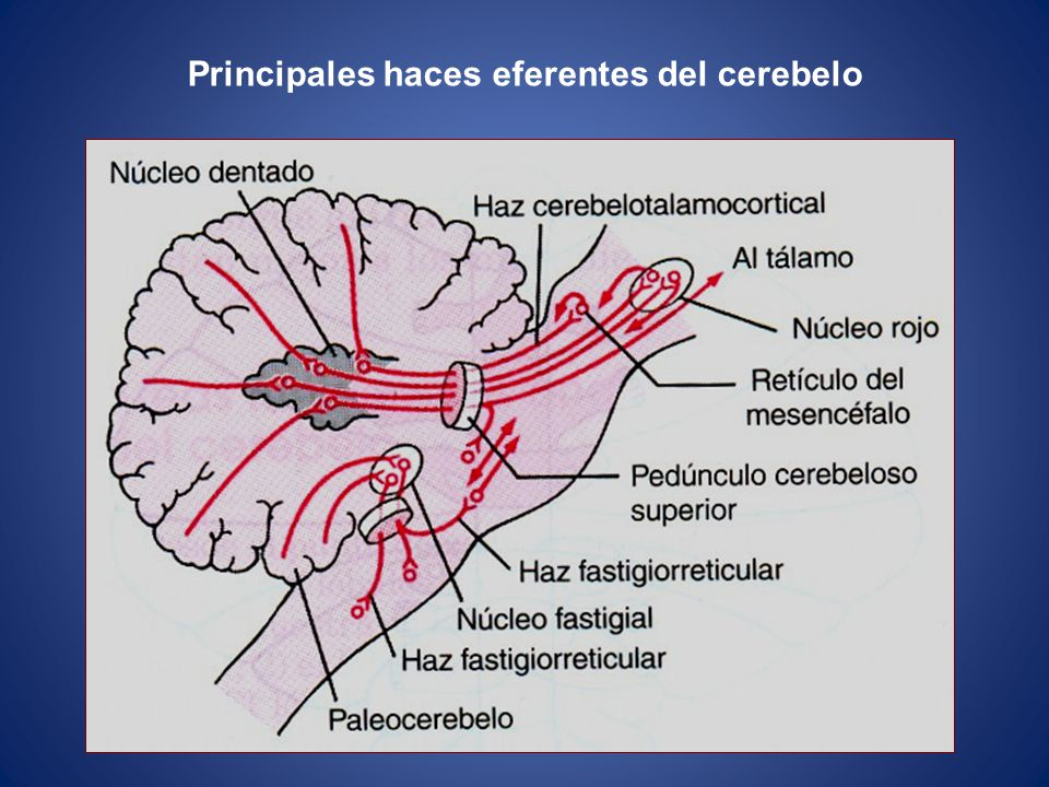 Principales haces eferentes del cerebelo