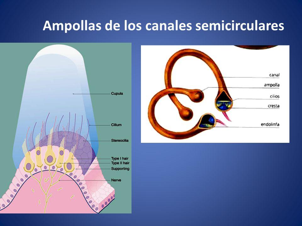 Ampollas de los canales semicirculares