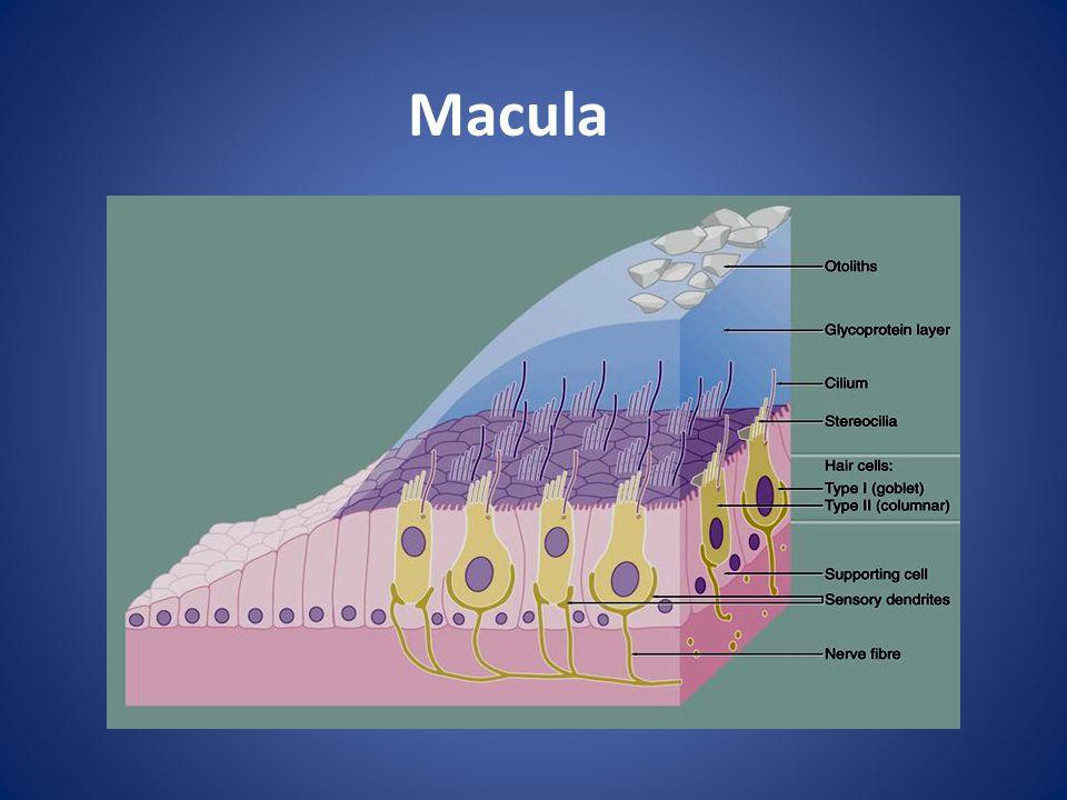 Macula