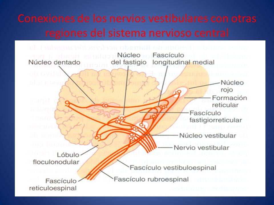Conexiones de los nervios vestibulares con otras regiones del sistema nervioso central