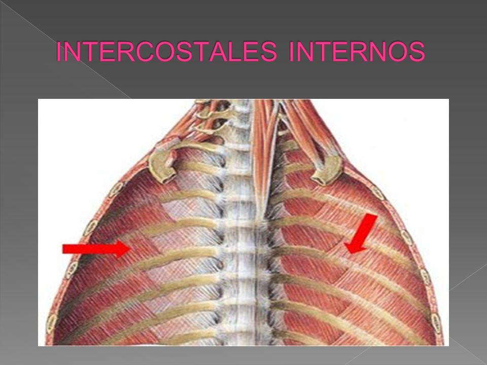 INTERCOSTALES INTERNOS