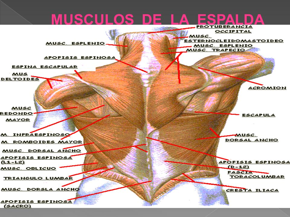 Contemporáneo Anatomía Músculo De La Espalda Humana Ilustración ...